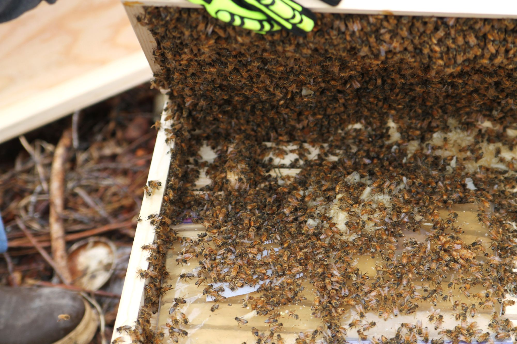 The queen is in that tiny box on the left corner, already engulfed in her bees...