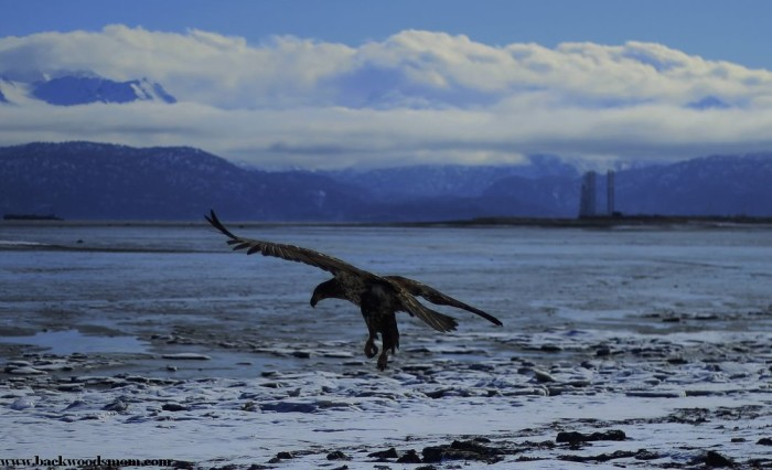 Battled the wind in Homer, Alaska to snap this immature eagle devouring a sea otter carcass today.